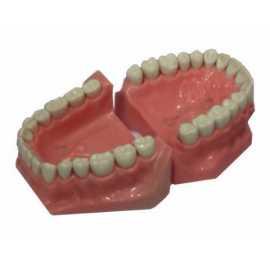 Api Jaw Set With Typhodonts
